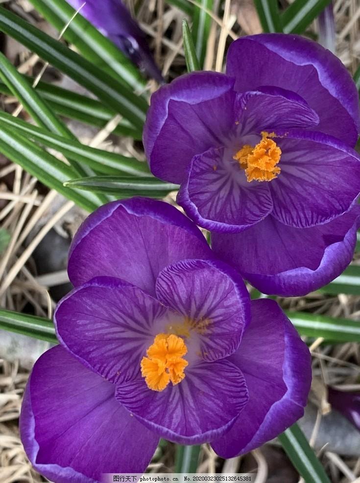 番红花,鲜花,春,自然,花园,植物,植物区系